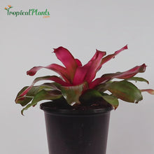 Load and play video in Gallery viewer, Christmas Magali Bromeliad Neoregelia