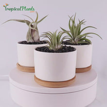Load and play video in Gallery viewer, Air Plant Tillandsia Trio - Round White Designer Ceramic Pot Set