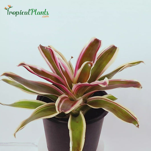Tropical Plant Raphael Bromeliad Neoregelia Video with 45 degree angle in pot