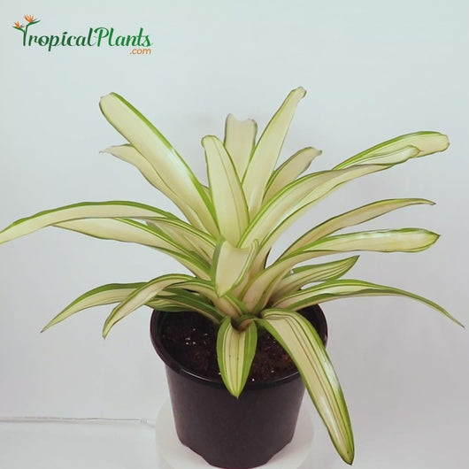 Tropical Plant Ardie Bromeliad Neoregelia in White Contemporary Pot Video