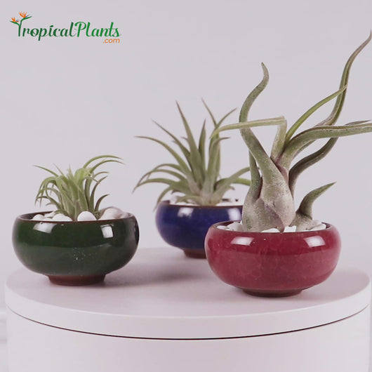Tropical Plant Tillandsia Air Plant  Blue, Red and Green Round Ceramic Pot Set 1 Video