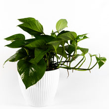 Load image into Gallery viewer, Green Pothos
