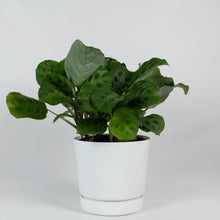 Load image into Gallery viewer, Green Prayer Plant (Maranta Calathea)