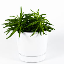 Load image into Gallery viewer, Nevada Peperomia