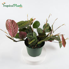 Load image into Gallery viewer, Red Prayer Plant (Maranta Calathea)