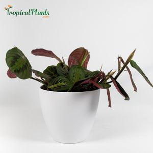 Red Prayer Plant (Maranta Calathea)