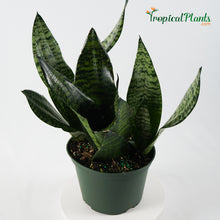 Load image into Gallery viewer, Robusta Snake Plant (Sansevieria Trifasciata)