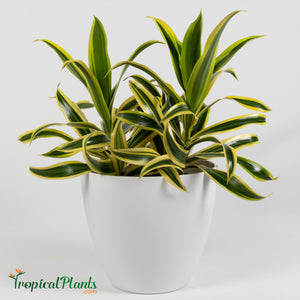 Song of India Dracaena