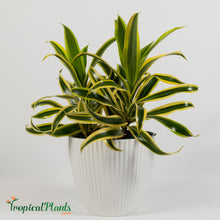 Load image into Gallery viewer, Song of India Dracaena