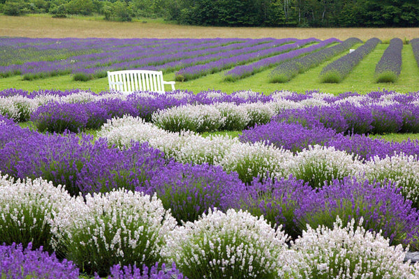 Fragrant Isle - Lavender Products – Fragrant Isle Lavender
