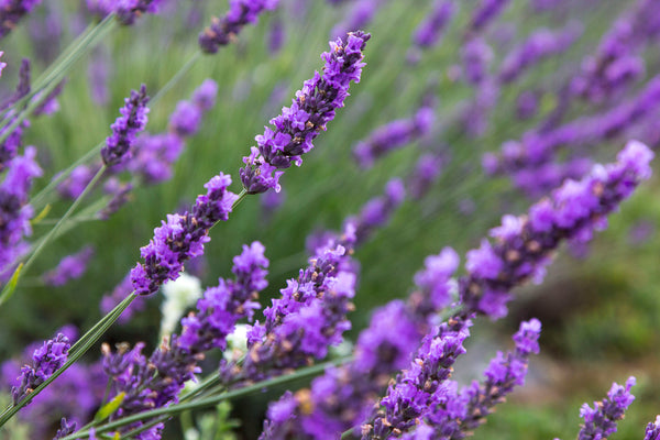 Our Lavender Blooms In August Fragrant Isle Lavender