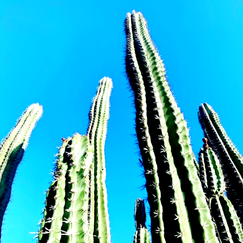Mexican Organ Pipe Cactus