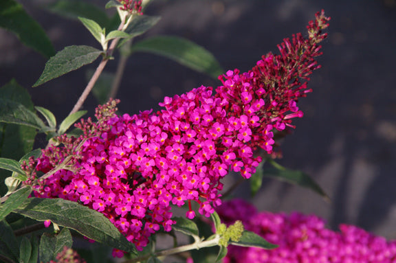 Buddleia davidii 'Buzz Hot Raspberry' (1 qt) | Hot Raspberry Dwarf Butterfly Bush (1 qt)