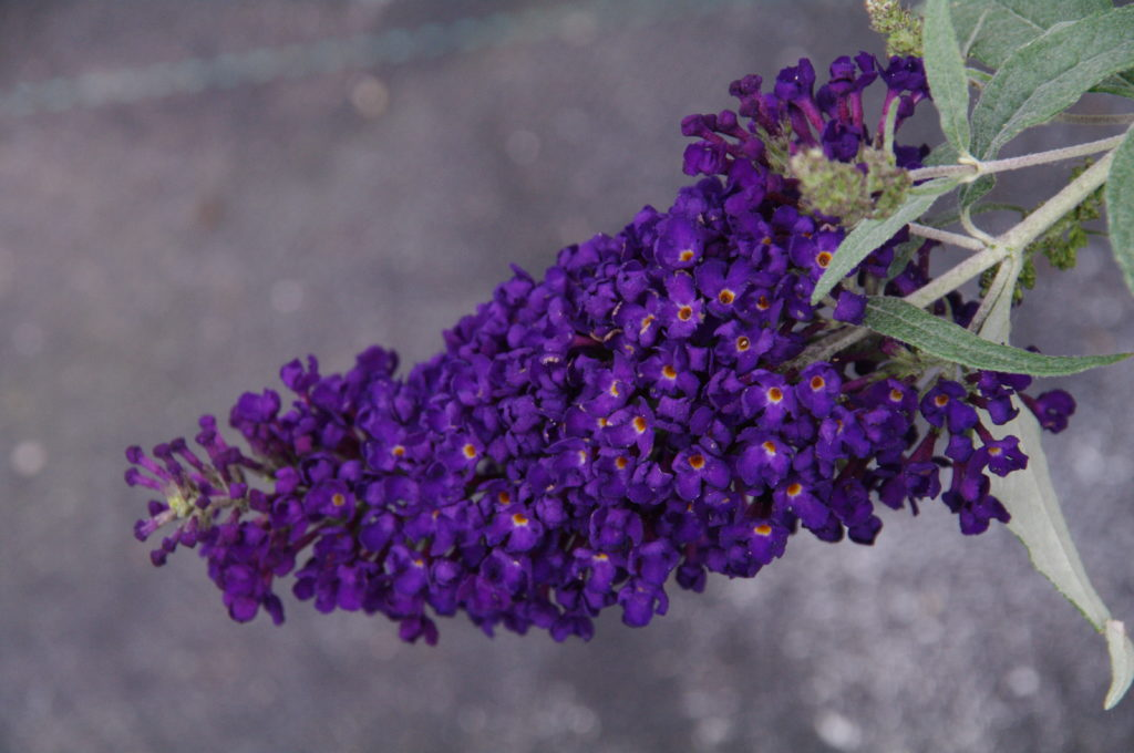 Buddleia davidii 'Buzz Midnight' (1 qt) | Midnight Dwarf Butterfly Bush (1 qt)