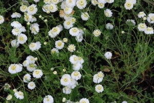 Chamaemelum nobile 'Flore Pleno' | Double Flowered Chamomile