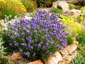 Lavandula angustifolia 'Thumbelina Leigh' | Dwarf Blue English Lavender