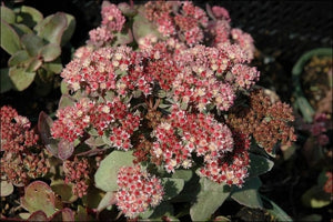Sedum 'Moonlight Seranade' | Moonlight Seranade Stonecrop
