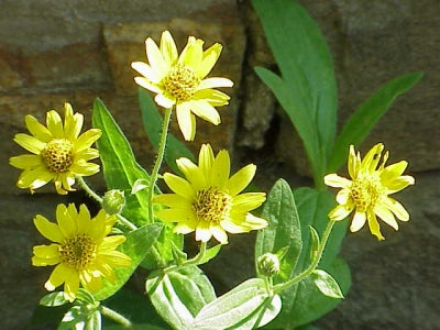 Arnica chamissonis | American Arnica