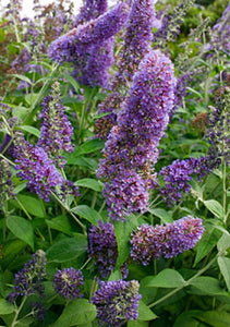 Buddleia 'Lochinch' (1 qt) | Summer Lilac (1 qt)