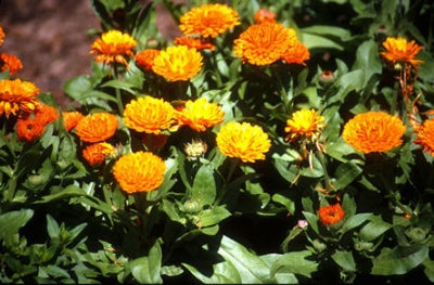 Calendula officinalis (3