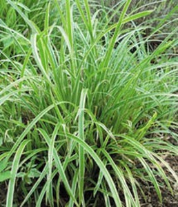 Carex morrowii 'Ice Dance' | Ice Dance Carex