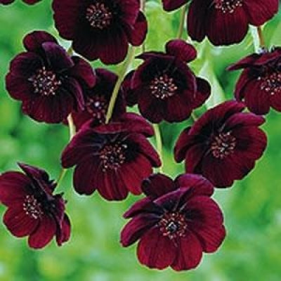 Cosmos astrosanguineus 'Dark Secret' | Chocolate Cosmos