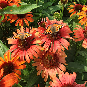 Echinacea 'Butterflies Orange Skipper' (1 qt) | Butterflies Orange Skipper Echinacea (1 qt)