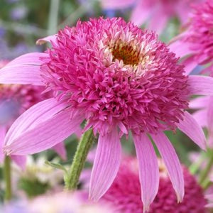 Echinacea purpurea 'Pink Double Delight' (1 qt) | Pink Double Delight Coneflower (1 qt)