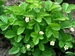 Fragaria vesca 'Alexandria' | Alpine Strawberry