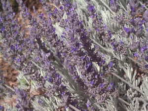 Lavandula 'Goodwin Creek Grey' | Goodwin Creek Grey Lavender