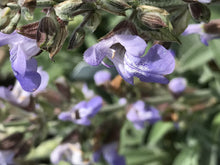 Load image into Gallery viewer, Salvia officialis 'Nazareth' | Garden Sage