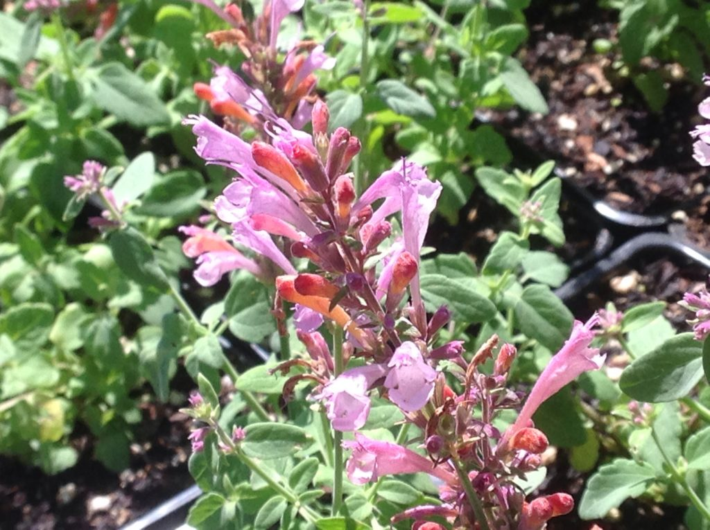 Agastache hybrida 'Arizona Sunset' (1 qt) | Arizona Sunset Hummingbird Mint (1 qt)