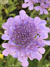Load image into Gallery viewer, Scabiosa columbaria 'Flutter Deep Blue' (1 qt) | Pincushion Flower (1 qt)