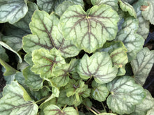 Load image into Gallery viewer, Heuchera 'Green Spice' (1 qt) |  Green Spice Coral Bells (1 qt)