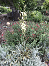Load image into Gallery viewer, Yucca filamentosa 'Color Guard' (1 qt) | Variegated Adam's Needle (1 qt)
