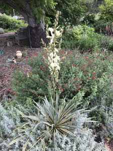 Yucca filamentosa 'Color Guard' (1 qt) | Variegated Adam's Needle (1 qt)
