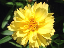 Load image into Gallery viewer, Coreopsis 'Leading Lady Charlize' (1 qt) | Tickseed (1 qt)