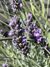 Load image into Gallery viewer, Lavandula x intermedia 'Fat Spike Grosso' | Lavender Grosso Fat Spike