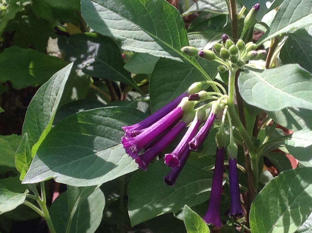 Iochroma 'Royal Queen Purple' | Violet Tubeflower