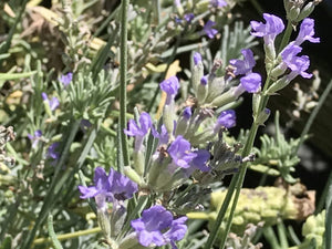 Lavandula angustifolia 'Princess Blue' | Princess Blue English Lavender