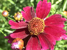 Load image into Gallery viewer, Coreopsis 'Limerock Ruby' (1 qt) | Limerock Ruby Tickseed (1 qt)