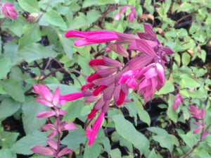 Salvia hybrida 'Wendy's Wish' (1 qt) | Wendy's Wish Sage (1 qt)