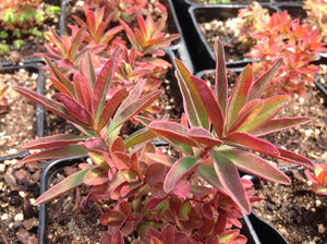 Euphorbia polychroma 'Bonfire' | Cushion Spurge