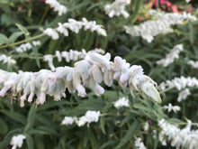 Load image into Gallery viewer, Salvia leucantha 'White Mischief' (1 qt) | White Mischief Mexican Bush Sage (1 qt)