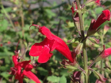 Load image into Gallery viewer, Salvia roemeriana 'Hot Trumpets' (1 qt) | Cedar Sage (1 qt)