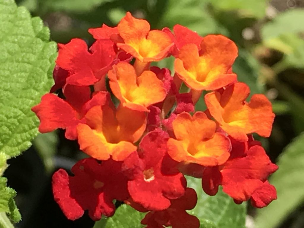 Lantana camara 'Dallas Red' | Dallas Red Lantana