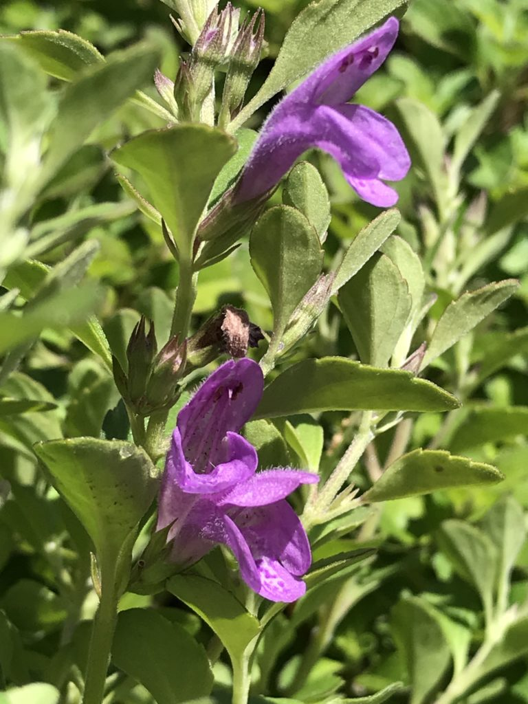 Hesperozygis 'Midnight Mojito' | Midnight Mojito Supermint