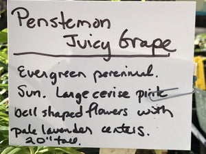 Penstemon 'Juicy Grape' (1 qt) | Juicy Grape Penstemon (1 qt)