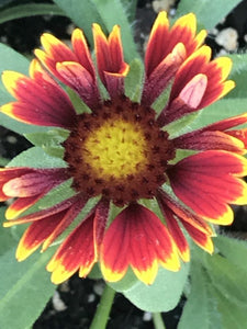 Gaillardia aristata SpinTop 'Orange Halo' (1 qt) | Blanket Flower (1 qt)