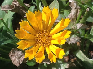 Coreopsis 'Jethro Tull' (1 qt) | Jethro Tull Fluted Tickseed (1 qt)